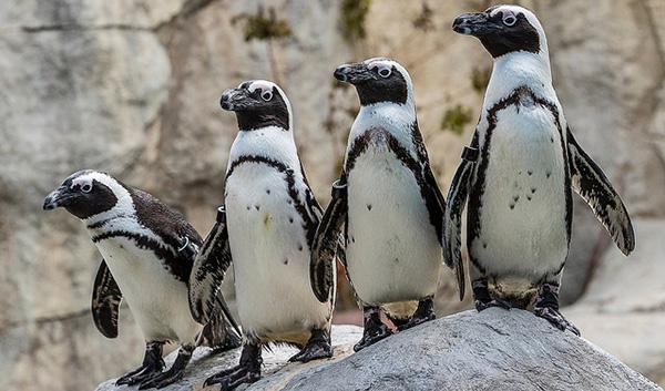 four penguins on a rock