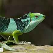 A A fiji iguana