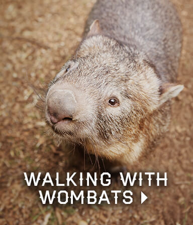 Walking With Wombats